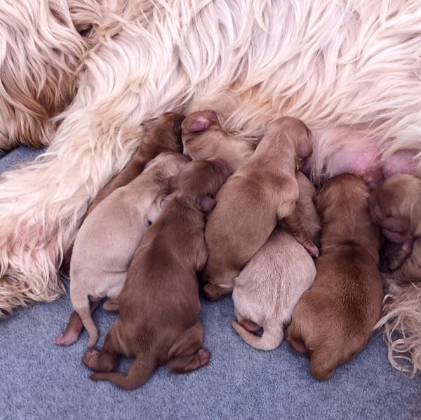Cobberdog puppies for sale